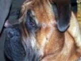 Новый случай, когда опасная собака напала на ребенка, произошёл в обычном московском дворе - Первый канал