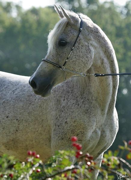 Спасибо.  Мария Счастливая.  161. Арабские Лошади.