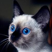 Логотип Тайские кошки / коты