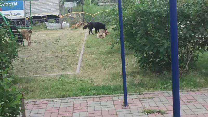 19.07.2018 г. Большая стая собак вольготно разгуливает по Красноярску