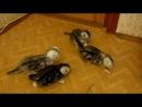котятки мраморятки от Бена и Виоллы