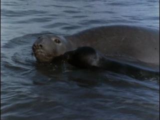 Подводная одиссея команды Кусто: Возвращение морских слонов. 1970.