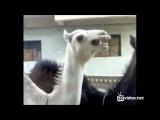 Верблюд смеется как Питер Гриффин