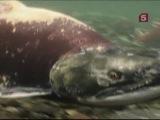 BBC: Мир природы (71 серия) - Серебряный прилив