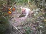 Дашка поймала мышку(точнее мамка Элька принесла)