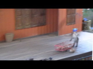 Шоу с обезьянами. Зоопарк Пхукета 2013 г