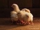 Цып-цып-цып, мои цыплята!