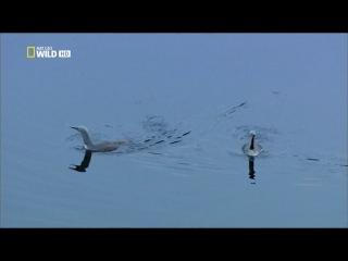 [Nat Geo Wild] Дикие животные Севера - Зов природы (2 серия)