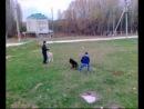 собачьи бои,Немецкая овчарка Vs дворовая собака