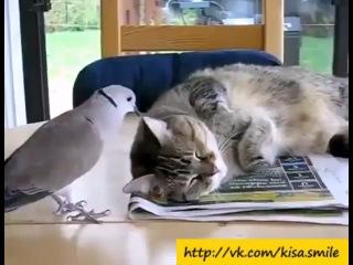 Очень ленивый кот и очень надоедливый голубь ==Kisa Smile== Прикольные фото и видео с кошками