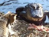BAC Prikol. Cat Vs Alligator=))