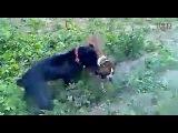 Собачьи бои кане корсо vs боксер