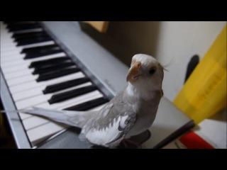 Сockatiel singing My Neghbor Totoro-Попугай(корелла) поет заглавную музыкальную тему из мультфильма