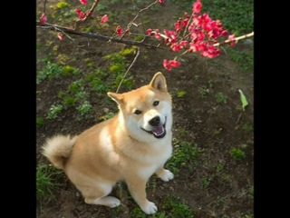 Милый пёс Марутаро