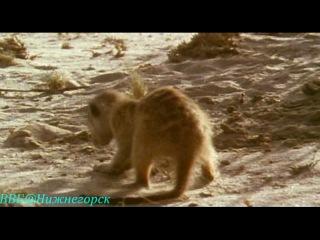 BBC Ребятам о зверятах Сурикат Моррис Документальный 2004