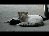 -===@@@ КОШАЧЬЯ НАСТОЯЩАЯ ЛЮБОВЬ (кот пытался оживить умершую подружку) (((((((((((((((( @@@===-