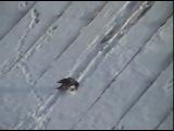 ворона-сноубордист)))