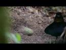 Брачный танец самца райской птицы