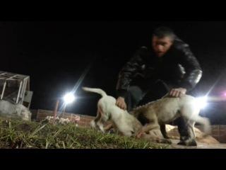 Собачьи бой Щенки 4 мес. американские бульдоги