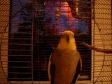 Мои видео. Попугай Кеша.Мой самый любимый собеседник.