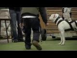 Собачьи бои чемпионат Европы вейтпуллинг