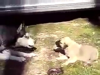 Baby TURKISH KANGAL vs Siberian Husky