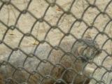 Атака манула (Новосибирский зоопарк)