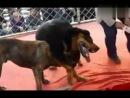 собачьи бои пит VS тибетский мастиф