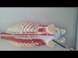анатомия. мышцы груди и спины