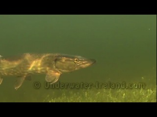 River monsters: face to face with a predator (pike / щука под водой 怪物魚).