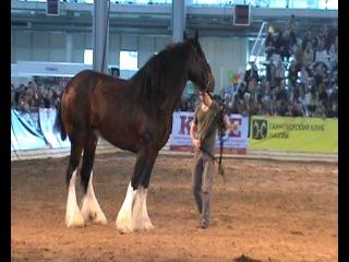 шайры(тяжеловозы) самые огромные лошади в мире
