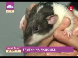Телеканал ТВЦ Настроение. Грызун на ладошке Эфир 21 марта 20012