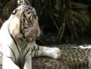 Тигра... Альбинос...