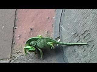 Драка хамелеонов у трассы Жаботински (Тель-Авив - Рамат Ган)