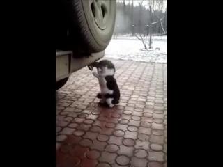 Кот Таксикоман