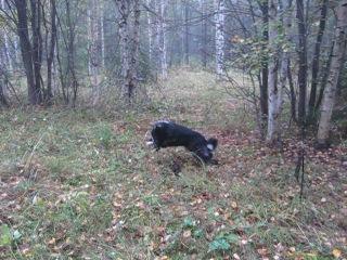Хорек напал на собаку во время охоты :)