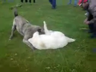 Собачьи бои Алабай vs Кангал