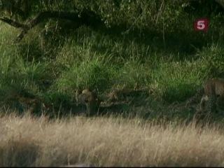 Мир природы (69 серия) - В поисках леопардов