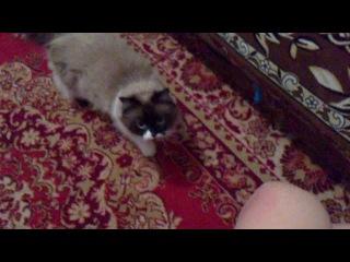 Самая ласковая и дресированная кошка