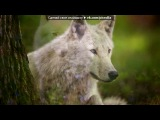Клип про волков, под песню