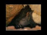 Чокнутый говнюк медовый барсук (The Crazy Nastyass Honey Badger (original narration by Randall), русский перевод)