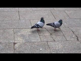 Чувство ритма у голубей (Not Vine)