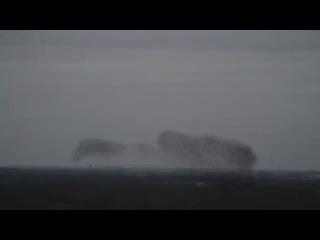 Танец скворцов в небе Голландии(удивительно красивое видео)