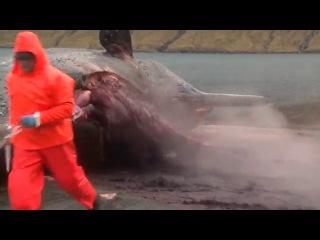 Мертвый кит взорвался при попытке вскрытия