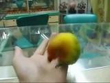 Попугай, который посмотрел порнушечку :з
