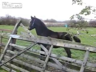 Неудачный прыжок жеребца (конь лошадь) бедный