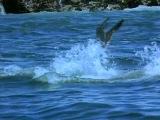 BBC: Жизнь животных - Плотоядные большая блая акула