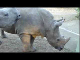 Маленькие носороги издают прикольные звуки