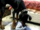 Doberman attacks cat