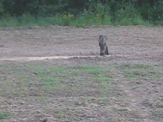 Охота на кабана из засады.